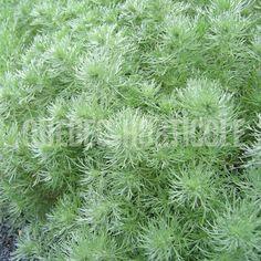 image de Artemisia schmidtiana Silver Mound Quebec, Planting Flowers, Herbs, Photos, Plants, Image, Mood, Silver, Perennial Plant