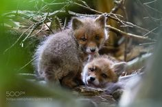 Young foxes by Diogenes72 #animals #pets #fadighanemmd