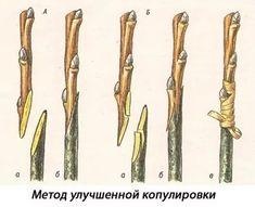 прививки плодовых деревьев-сроки прививки: 10 тыс изображений найдено в Яндекс.Картинках