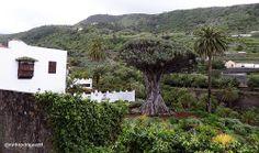 Icod de los Vinos, Tenerife, Canarias http://ruthrodrigueztf.wordpress.com