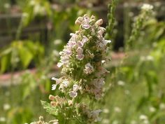 6 Mosquito Repellent Plants Garden Design Calimesa, CA