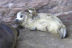 生まれたてゴマフアザラシの赤ちゃん公開!鴨川シーワールドで3月30日に誕生