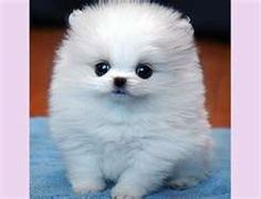 teacup pomeranian....cutest puppy ever!.