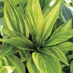 Shades of Green Hostas and Daylilies Hosta - Kaleidochrome