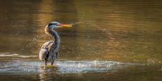 heron takes a bath
