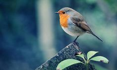 Cute small orange free birds wallpapers