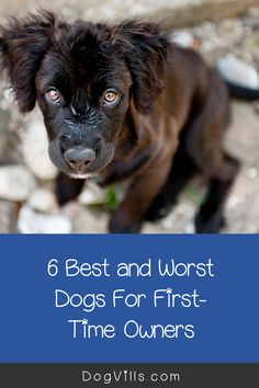 Are you wondering about the best and worst dogs for first-time owners?    While all dogs make lovely pets, some sensitive breeds or hard to train ones can be a handful for an inexperienced dog owner. Best Large Dog Breeds, Best Small Dogs, Most Popular Dog Breeds, Best Dog Breeds, Large Dogs, Best Dogs, Every Dog Breed, Best Guard Dogs, Companion Dog