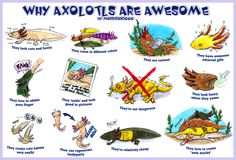 Why axolotls are awesome by Morrison3000.deviantart.com on @DeviantArt In critical danger