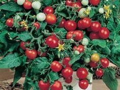 Rote Minitomate für die Fensterbank - Red Robin - 20 Samen: Amazon.de: Garten