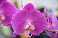 New Zealand WOW!: Bright Pink Phalaenopsis Orchids