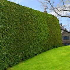 Very Fast Privacy Screen -  Need to block a large area in a hurry? The Willow Hybrid (also referred to as the Austree) grows up to 6+ ft. a year... filling out to create a solid green wall!   This tree serves as an excellent, trouble-free privacy screen. Willow Hybrid trees are very effective at blocking out what you...
