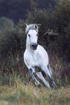 Weisser Andalusier Hengst galoppiert im Sommer über die Wiese | Pura Raza Espanola | Stallion | Pferd | Bilder | Foto | Fotografie | Fotoshooting | Pferdefotografie | Pferdefotograf | Ideen | Inspiration | Pferdefotos | Horse | Photography | Photo | Pictures