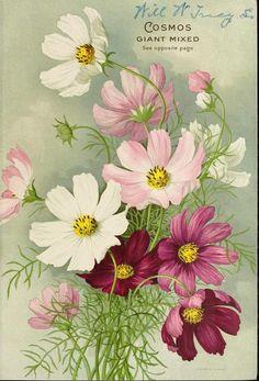 Ideas For Vintage Flower Art Seed Catalogs Flower Prints, Flower Art, Vintage Seed Packets, Cosmos Flowers, Pink Flowers, Seed Packaging, Seed Catalogs, Arte Floral, Flower Seeds