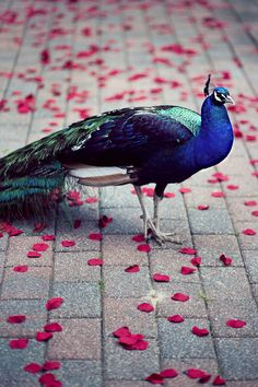 peacock, walking the grounds of my country house.