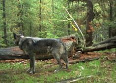 Get to Know Oregon's Wolves | Oregon Wild