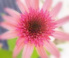 Pink Coneflower (Echinacea)