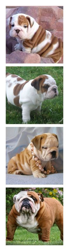 Bull Dogs..arent they soo cute ive wanted a bull dog for a while now !