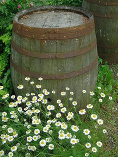 Daisies by a barrel