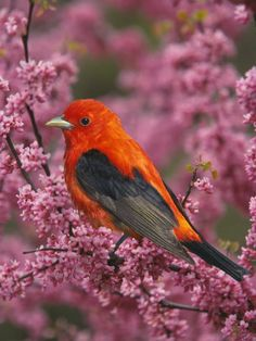 A Male Scarlet Tanager, Piranga Olivacea, in a Flowering Redbud Tree, Eastern USA. From thepassionatebirder.com.