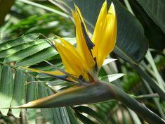 Strelitzia Gold   Cielaria.com
