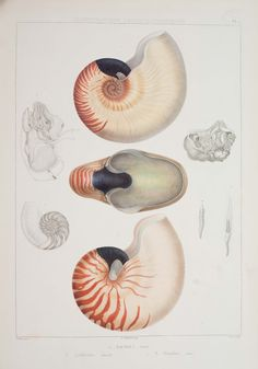 "amnhnyc: ""The chambered nautilus is a common tropical Indo-West Pacific species, free-swimming from deep to shallow waters, feeding on fish and crustaceans. The shell is partitioned into chambers, with the animal occupying the outermost chamber. Nature Illustration, Botanical Illustration, Botanical Drawings, Botanical Prints, Fauna Marina, Nautilus Shell, Merian, Science Art, Sea Creatures"