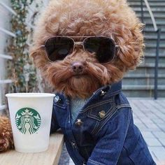 "DogCentury ✖️ Free Shipping (@dogcentury) on Instagram: ""Hello baby #dog #dogs #dogcentury #poodle #poodlesofinstagram #poodles #puppy #instadog…"""