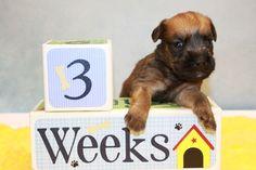 Irish wheaten terrier puppy