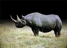 Minhas matérias na Revista Ecológico. RINOCERONTE-NEGRO Caça implacável dizimou a espécie no continente africano.