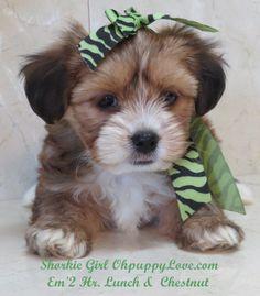 Shorkie Maltese Beautiful Animals Morkie puppies