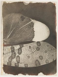William Henry Fox Talbot, Insect Wings (as seen in a solar microscope), 1840