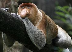 """With a length of 30 inches and an average weight of 44 pounds, and known for the size of its nose (which hangs below its mouth in the males of the species), the proboscis monkey (also known as the """"Dutch Monkey"""") is an Old World Monkey that can only be found on Southeast Asian island of Borneo (an island that contains the nations of Brunei, Indonesia, and Malaysia)."""