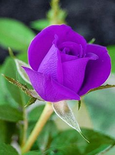 Rose Buds, Beautiful Roses, Pink Roses, Purple, Amazing, Garden, Flowers, Plants, Color