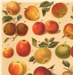 1901 Apples, Original Antique Chromolithograph to Frame
