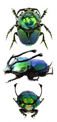 Onthophagus rangifer . Note how the face is difficult to locate . So much has been invested in the extravagant horns !