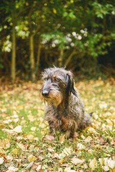 #photographie #photography #animal #dog #chien #teckel #nature #details #vintage #manon #debeurme #photographe #photographer Manon, Nature, Vintage, Dachshund Dog, Dogs, Photography, Animaux, Naturaleza, Vintage Comics