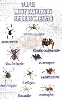 Top 10 Most Dangerous Spiders On Earth Infographic - Animals Survival Life Hacks, Survival Food, Camping Survival, Survival Tips, Survival Skills, Outdoor Survival, Emergency Preparedness, Spider Identification Chart, Spider Bites