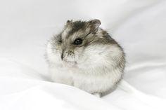 Dwarf hamster by romap, via Flickr