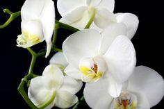 Pěstitel poukázal na nezbytné potřeby orchidejí, po kterých porostou jako bláznivé   Chalupáři-Zahrádkáři