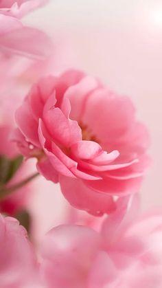 粉紅色 玫瑰動態壁紙- 螢幕擷取畫面