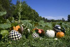 Our very own prized pumpkin patch.