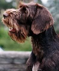 German Wirehaired Pointer - Deutsch - that beard ♥ Curly Coated Retriever, Wirehaired Pointing Griffon, German Wirehaired Pointer, Braque Du Bourbonnais, Australian Dog Breeds, Ugly Dogs, Hunting Dogs, Dogs And Puppies, Doggies