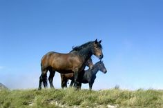 The beautiful Castillon breed of horse, native to the Pyrenees