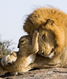 7 week old lion cub meets his dad for the first time.