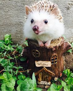 Meet Huff, a 3-year-old rescue African Pygmy hedgehog from Utah whose adorable…