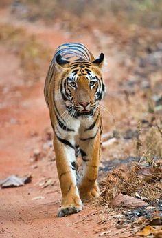 Tiger pic by Guru Raju from india