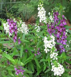 Archangel Blue and White angelonia -- bigger flowers, tough plant and U of Missouri extension gives it a thumbs up. http://ipm.missouri.edu/MEG/2012/2/New-Bedding-Plants-for-2012/