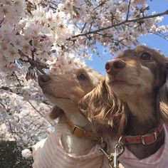 #love #dogs 🐶💕 #miniatur #miniaturedachs  #miniaturedachshunds #cherryblossom 🌸  #ミニチュア #ミニチュアダックス #ミニチュアダックスフント  #愛犬 #たんそく部 #短足部 #愛犬なしでは生きていけません 🐶🐶💕 #癒し U(。•ﻌ•。)U 💕 何年か前のお写真だけどお気に入りのお写真(*´˘`*)💕 明日はたくさん桜が咲きますように☺️🌸