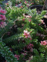 Grevillea lanigera 'Mt Tamboritha Form'  This plant is a densely foliaged, dwarf, spreading form. It flowers from March to December with showy bunches of pink and cream flowers resembling large raspberries. It is a very useful native groundcover, particularly for cooler areas of Australia. Is very attractive to nectar feeding birds. Grow in a variety of soils, as long as the drainage is good. They can be planted in full sun or light shade, and are both frost and drought tolerant.