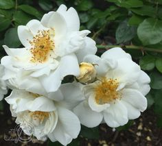 In the at these old have butter yellow buds that turn into white roses. White Roses, Bud, Crisp, Butter, Yellow, Garden, Plants, Garten, Lawn And Garden