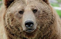 bear face - Google Search
